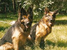 Старонемецкая длинношерстная овчарка Altdeutcher Schaeferhund.