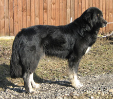 Тувинская овчарка