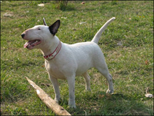 Порода собак Стаффордширский бультерьер