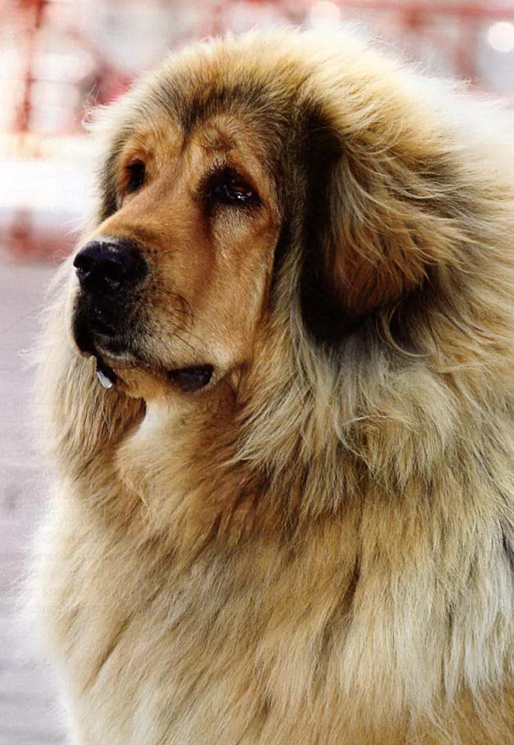 чем лечить баланопостит у собак